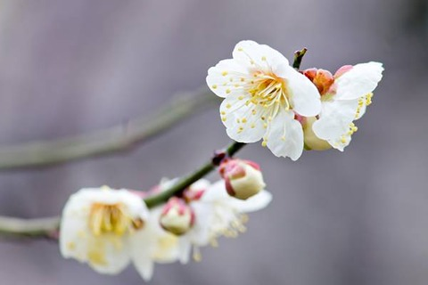 free-photo-ume-07(SwitchBox素材)