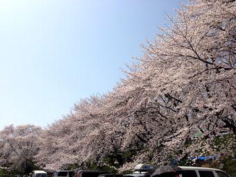 岐阜笠松の桜