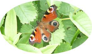 きれいな蛾のコピー