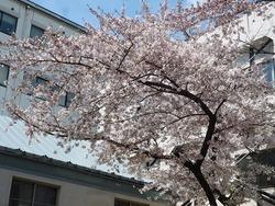 20160415栃内桜 (3)