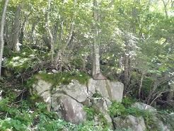 岩に這いつくばる木 五葉山麓