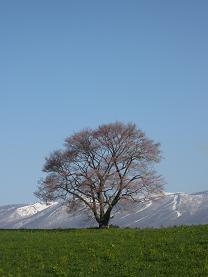 縦長一本桜