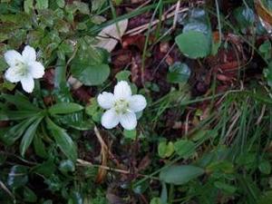 淡い白い清楚な花