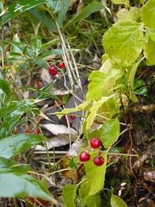 ツタと赤い実