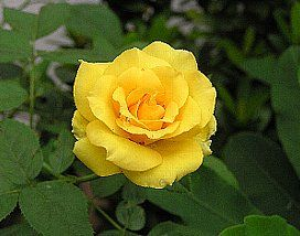 yellow%20rose