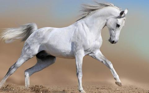 White_horse-Amazing_Horse_theme_wallpaper_1440x900