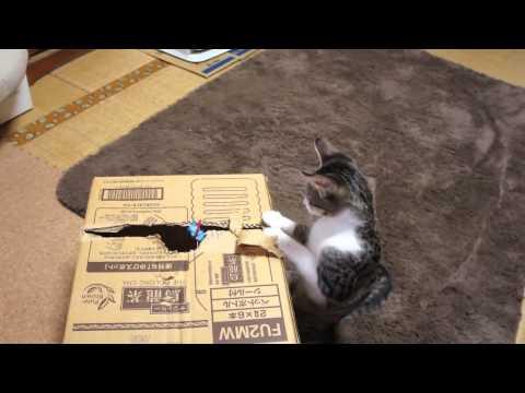 【猫動画】段ボールの遊びが極まってる!!