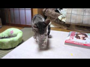 【猫動画】コップの水に慣れるまで・・・ (ほっこり動画)