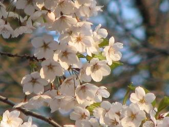 05_25_円山公園桜