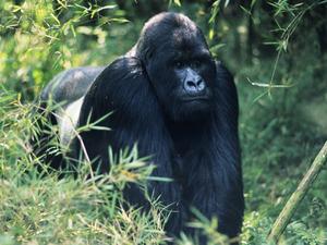 gorilla_img01-l