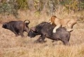 killing-simbas-lion-trade-02-Jul-12[1]