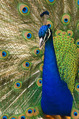Oregon_zoo_peacock_male[1]
