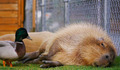 capybara-ahiru[1]