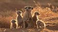 081027_meerkats_sub2[1]