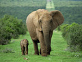 African-Bush-Elephant-Mikumi-National-Park-Tanzania4[1]