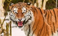 Fotos-de-Tigres_Imagenes-Animales-Salvajes-Tigres[1]