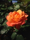アンネの薔薇150514