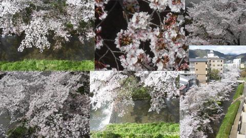 200405有栖川桜