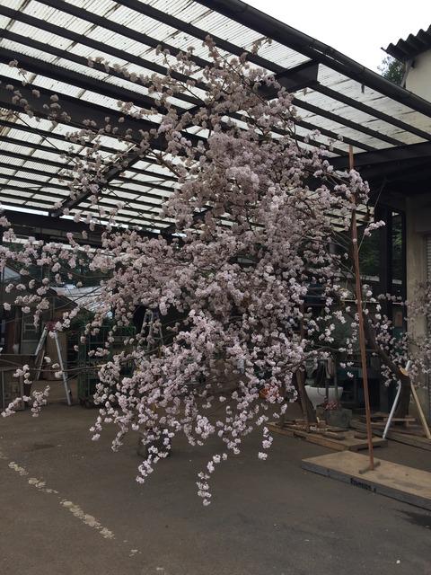 今シーズンの桜装飾 スタートです。