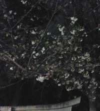 自由が丘の桜 熊野神社