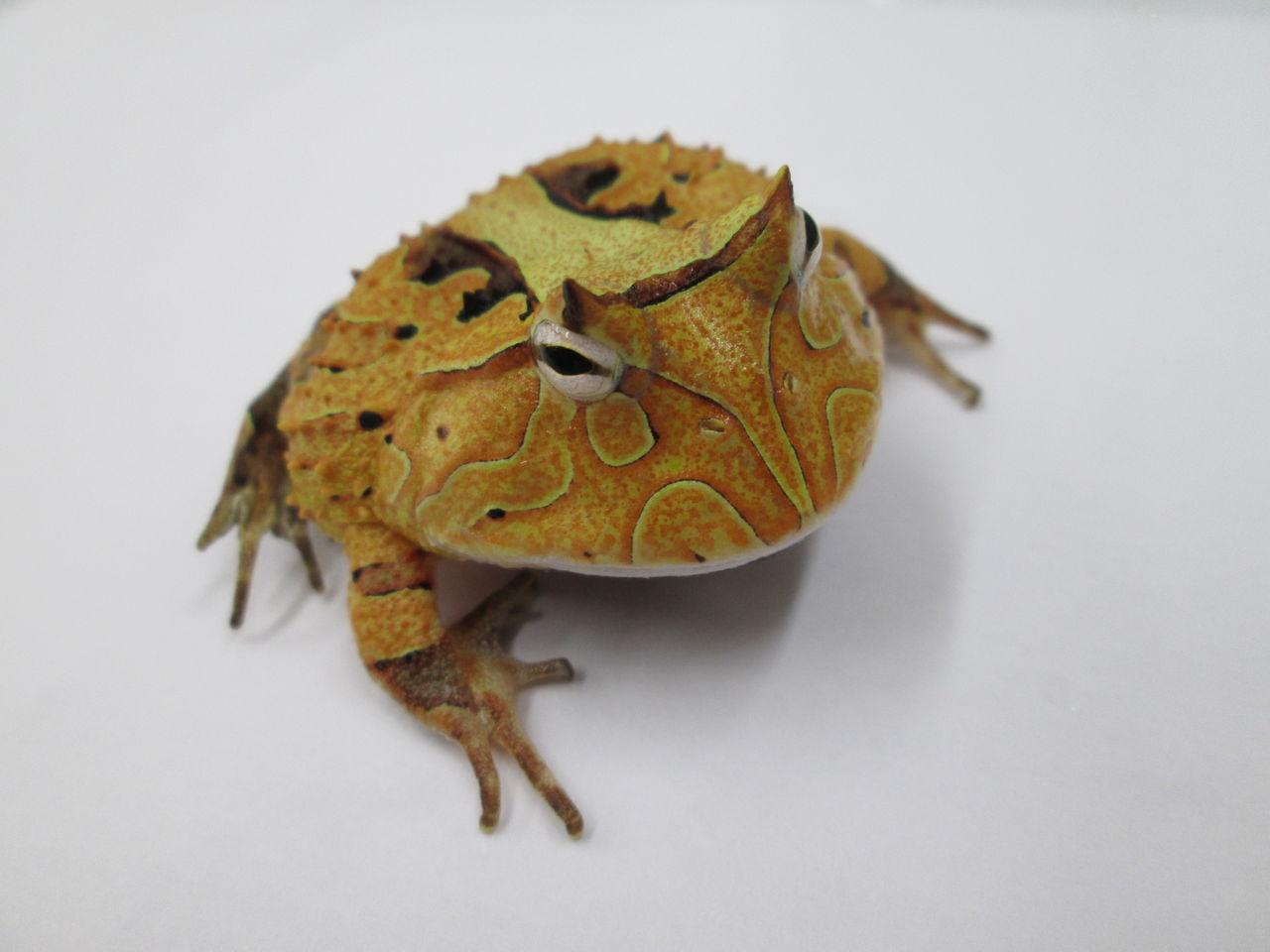 エリマキトカゲの画像 p1_32