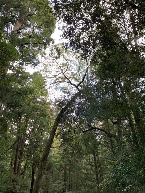 12伊勢神宮の林
