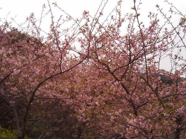 kawazuzakura (1)