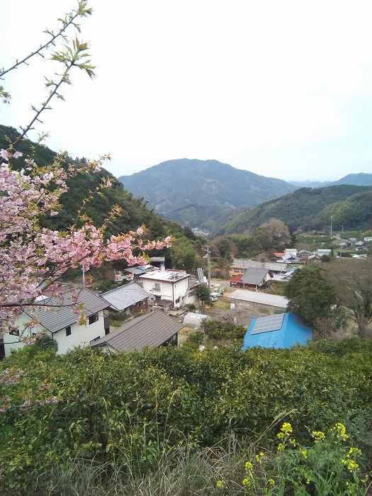 kawazuzakura (2)