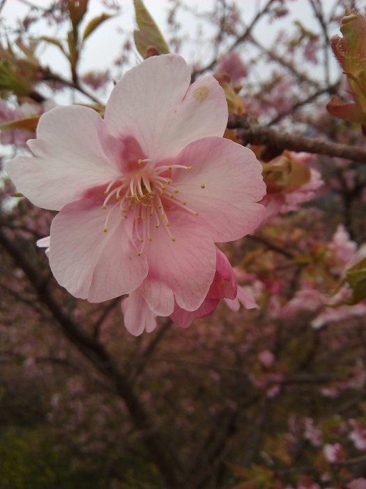 kawazuzakura (3)