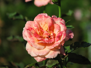 rose091228