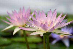 110323蓮の花