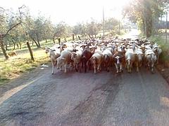 朝のお散歩 村のヒツジがやって来る