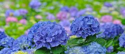 FlowerTitle_Ajisai_1011