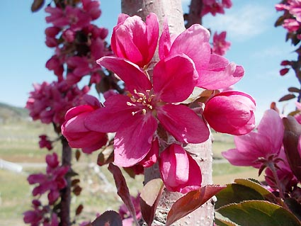 メイポール花