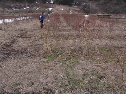 冬のブルーベリー畑2