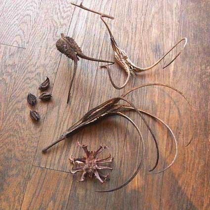 ツノゴマ ライオンゴロシ