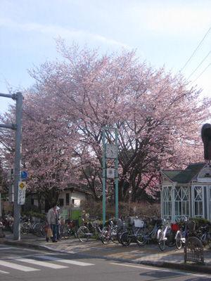 旧道ロータリーの山桜