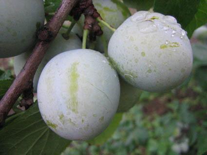 レーヌクロード果実