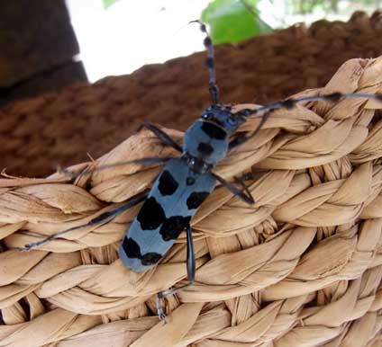 ルリボシカミキリ