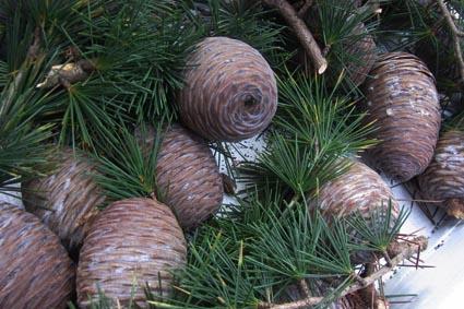 ヒマラヤ杉の実