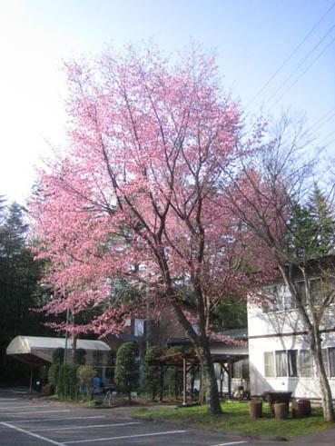 聖パウロ教会桜