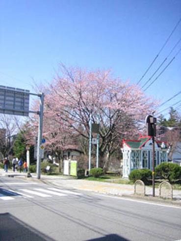 旧道ロータリー桜
