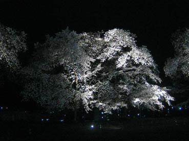 富岡製糸桜