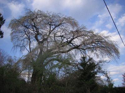 大塚山の枝垂桜