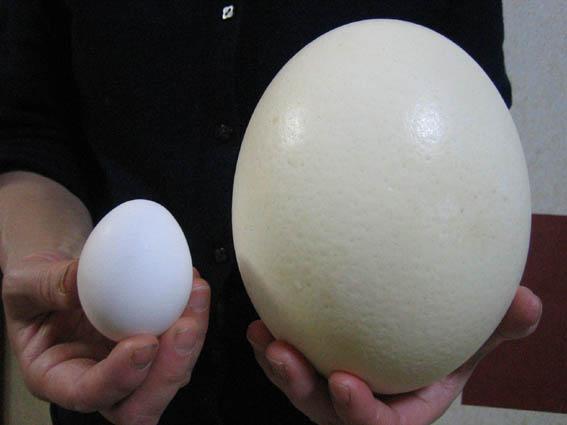 ダチョウ(駝鳥)卵