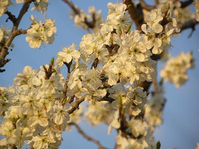 レーヌクロード花