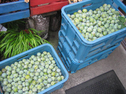 レーヌクロード収穫