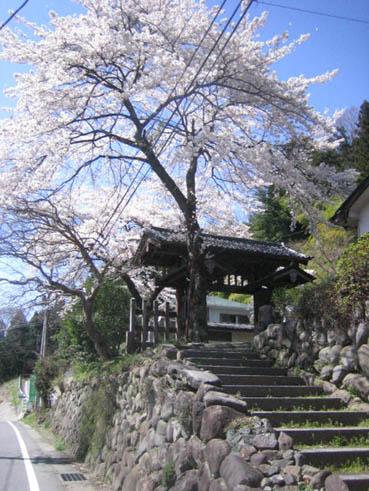 横川関所桜