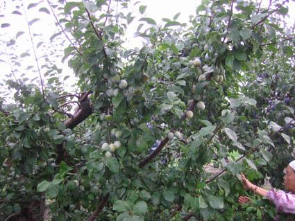 レーヌクロードの木