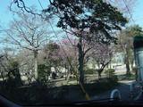 梅の花がきれいです♪